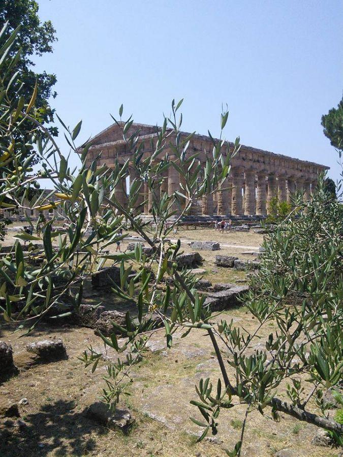 Paestum through the olive trees